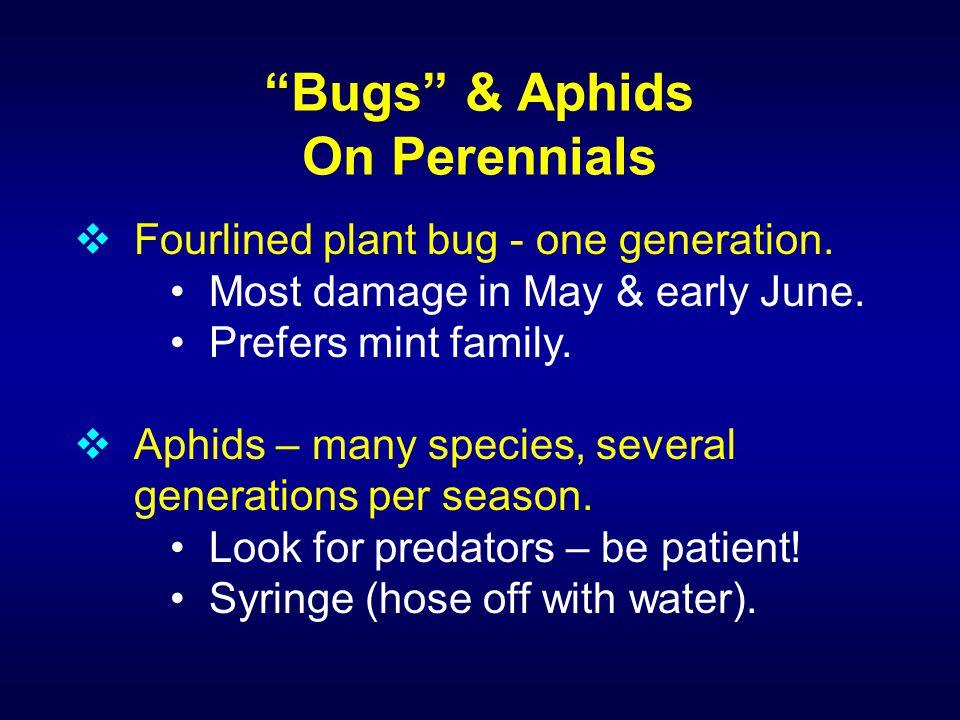 Hollyhock sawfly larvae skeletonize leaves and the damage is often mistaken for Japanese beetle damage.