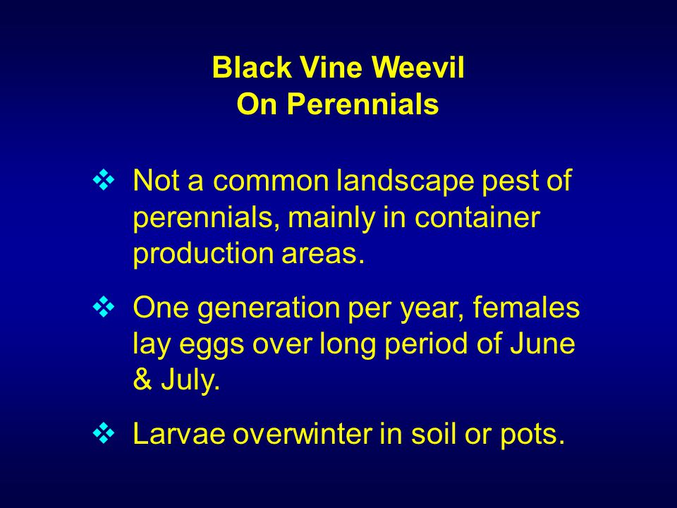 Black Vine Weevil On Perennials  Not a common landscape pest of perennials, mainly in container production areas.  One generation per year, females