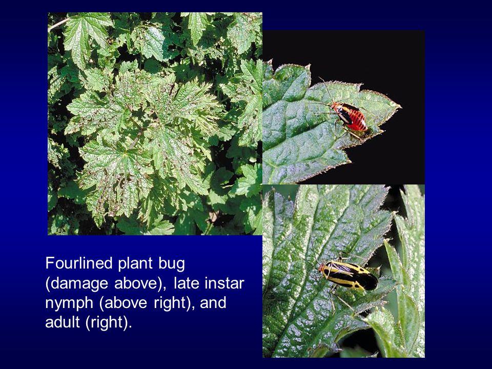 Coneflower flowergall mites are eriophyids.