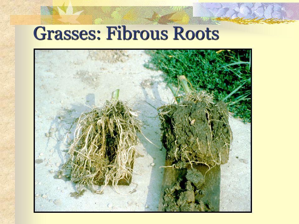 Grasses: Fibrous Roots