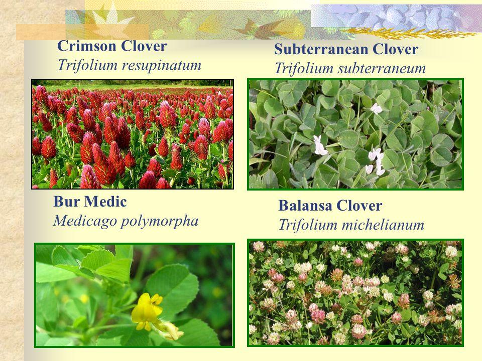 Crimson Clover Trifolium resupinatum Subterranean Clover Trifolium subterraneum Bur Medic Medicago polymorpha Balansa Clover Trifolium michelianum