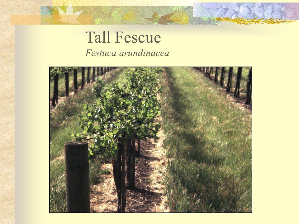 Tall Fescue Festuca arundinacea