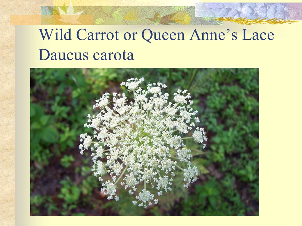 Wild Carrot or Queen Anne's Lace Daucus carota