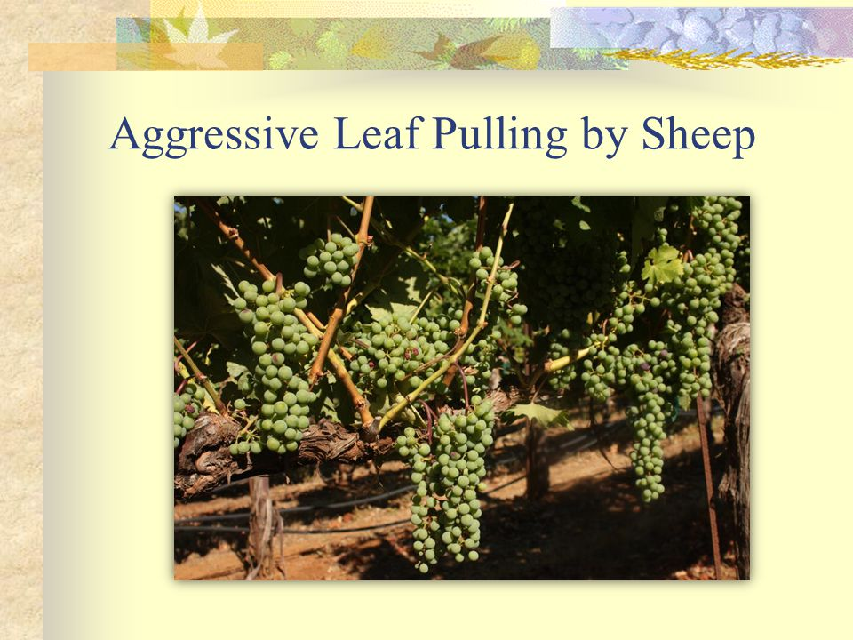 Aggressive Leaf Pulling by Sheep