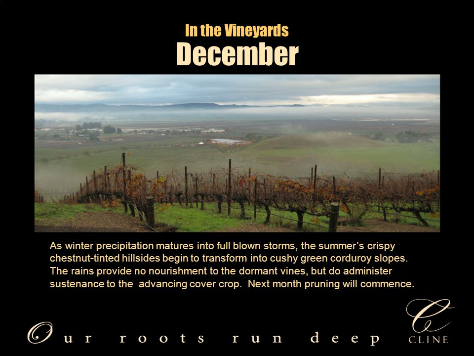 In the Vineyards December As winter precipitation matures into full blown storms, the summer's crispy chestnut-tinted hillsides begin to transform into cushy green corduroy slopes.