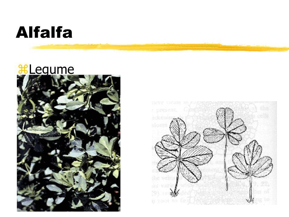 Alfalfa zLegume