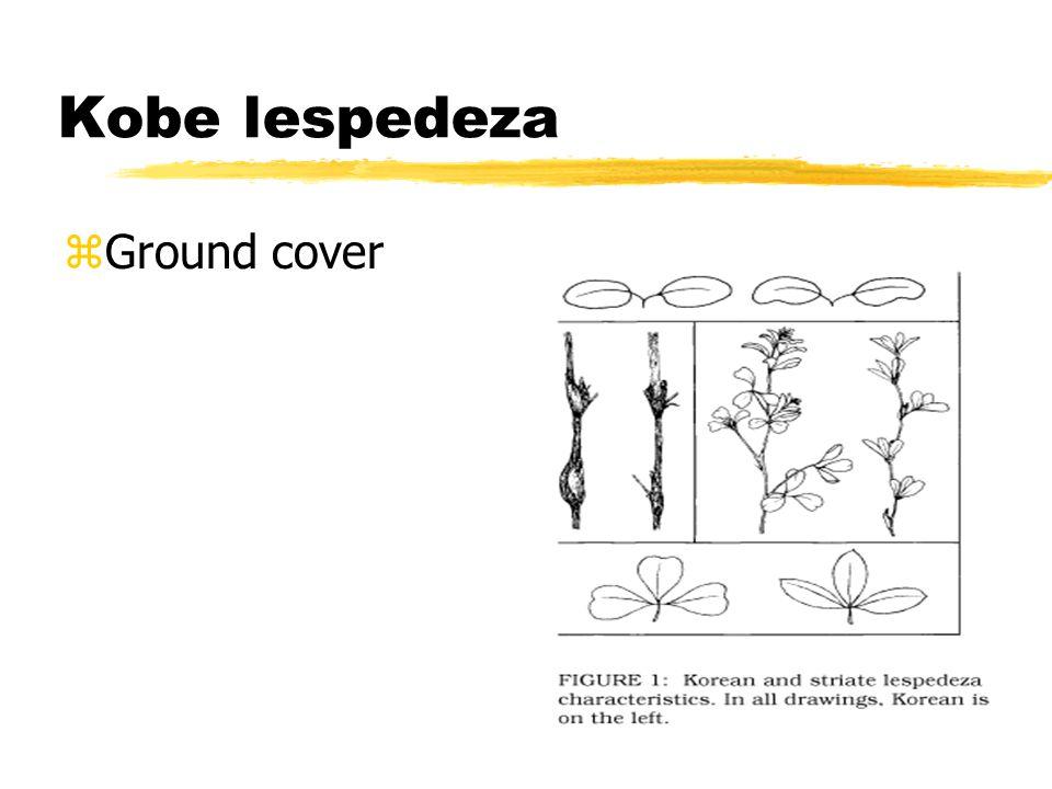 Kobe lespedeza zGround cover
