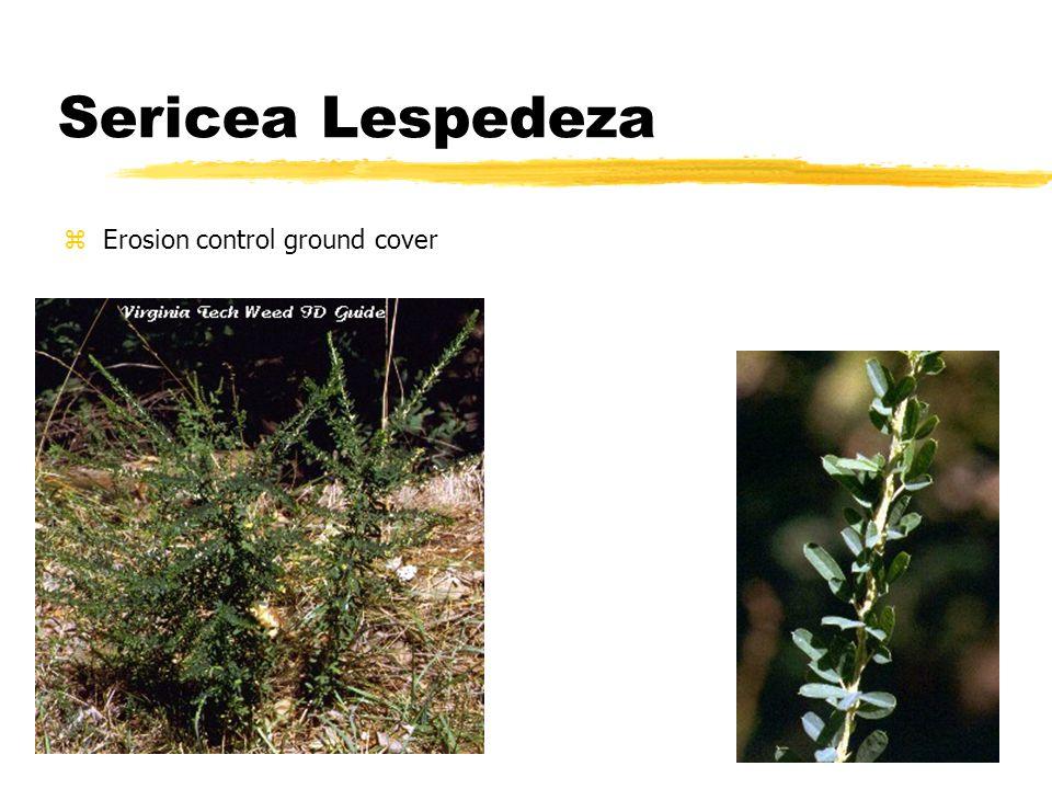 Sericea Lespedeza zErosion control ground cover