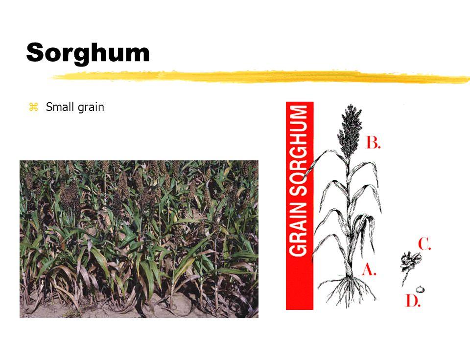 Sorghum zSmall grain
