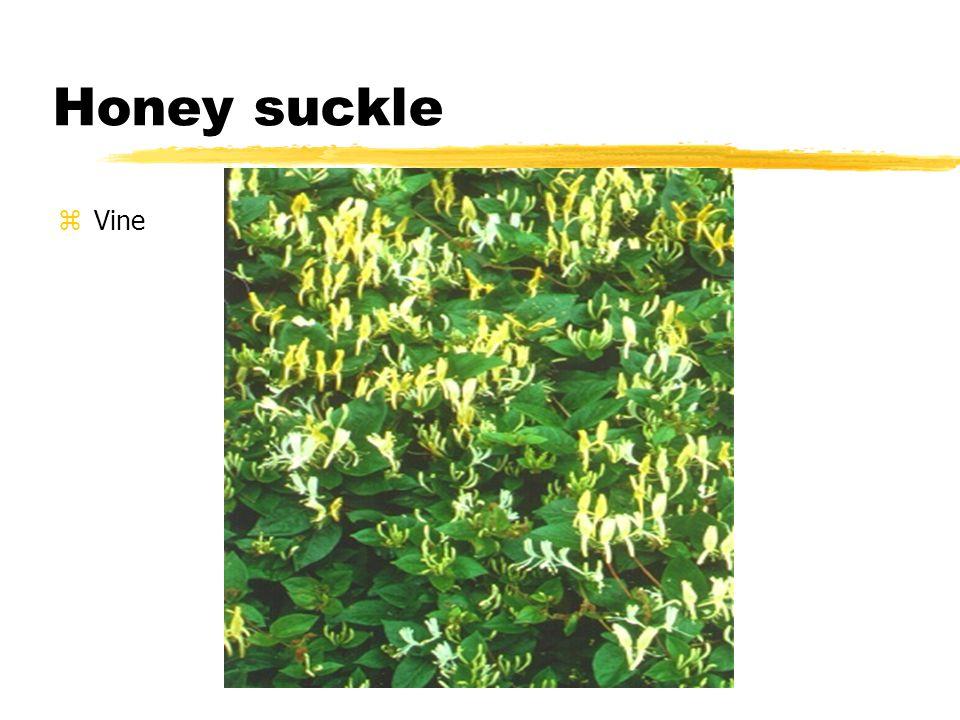 Honey suckle zVine