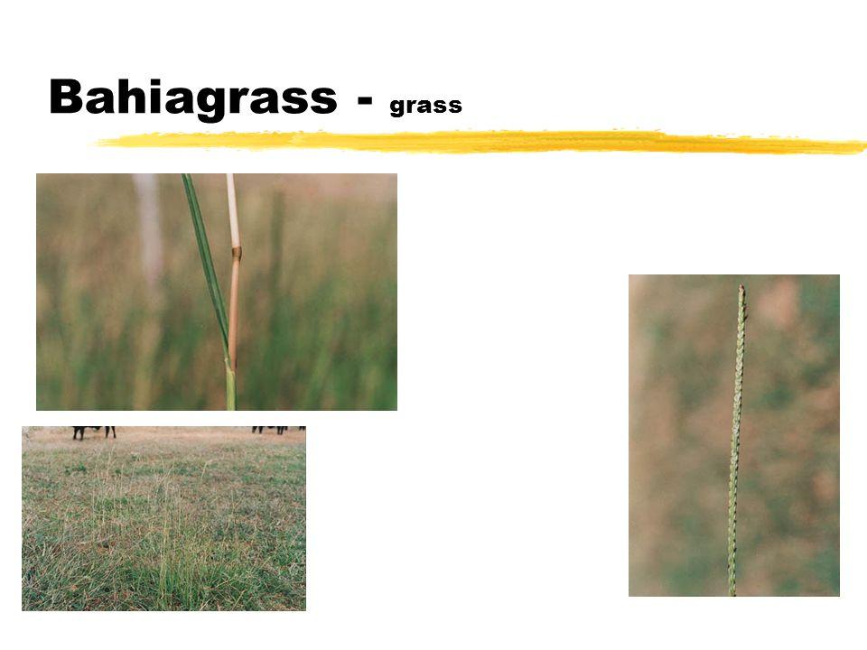 Bahiagrass - grass