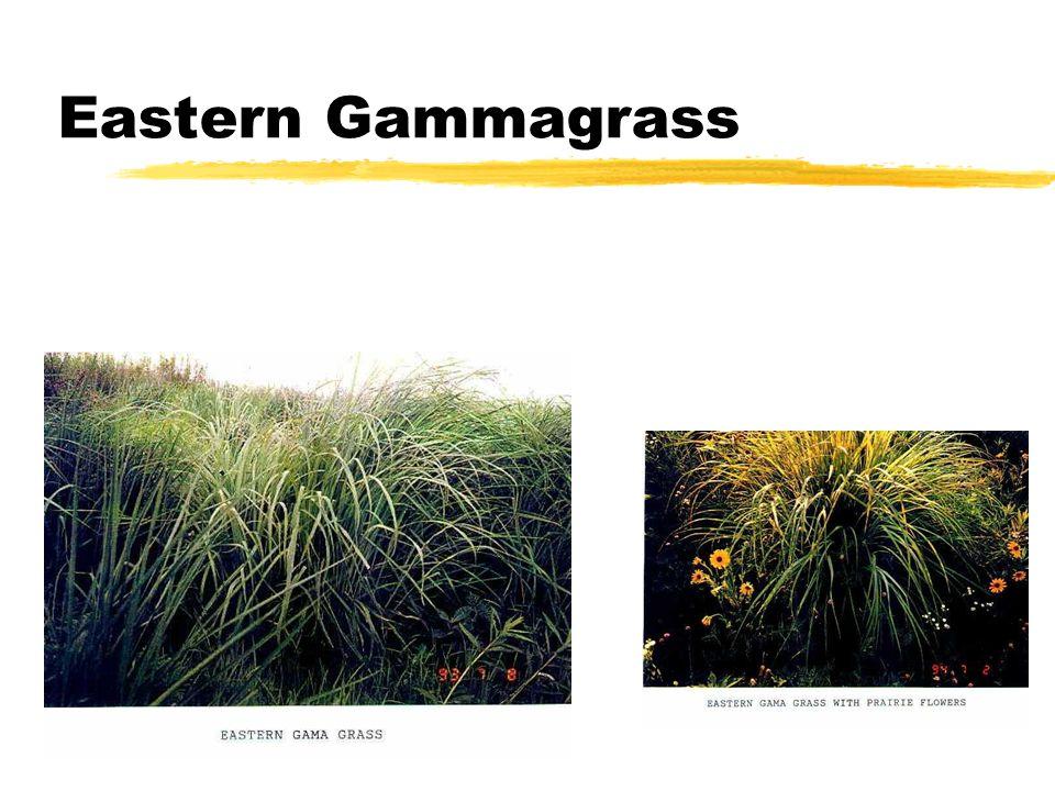 Eastern Gammagrass