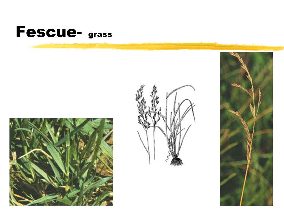 Fescue- grass