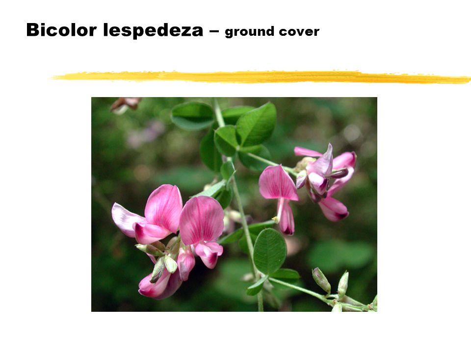 Bicolor lespedeza – ground cover