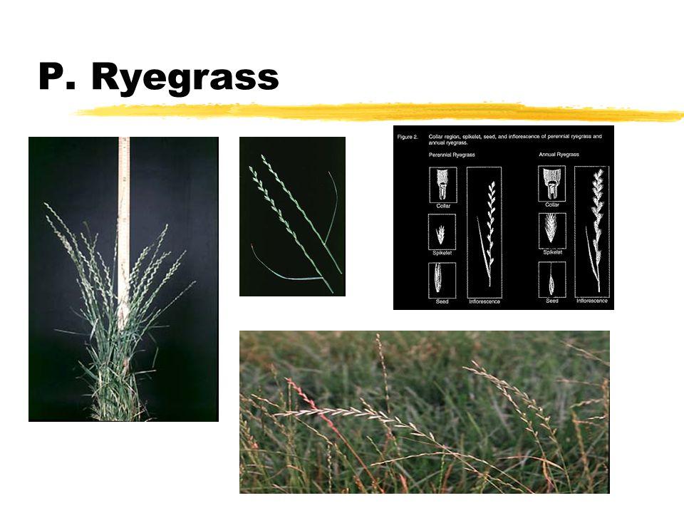 P. Ryegrass