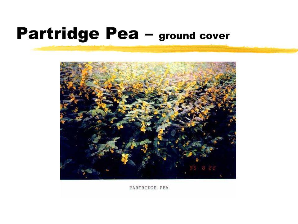 Partridge Pea – ground cover