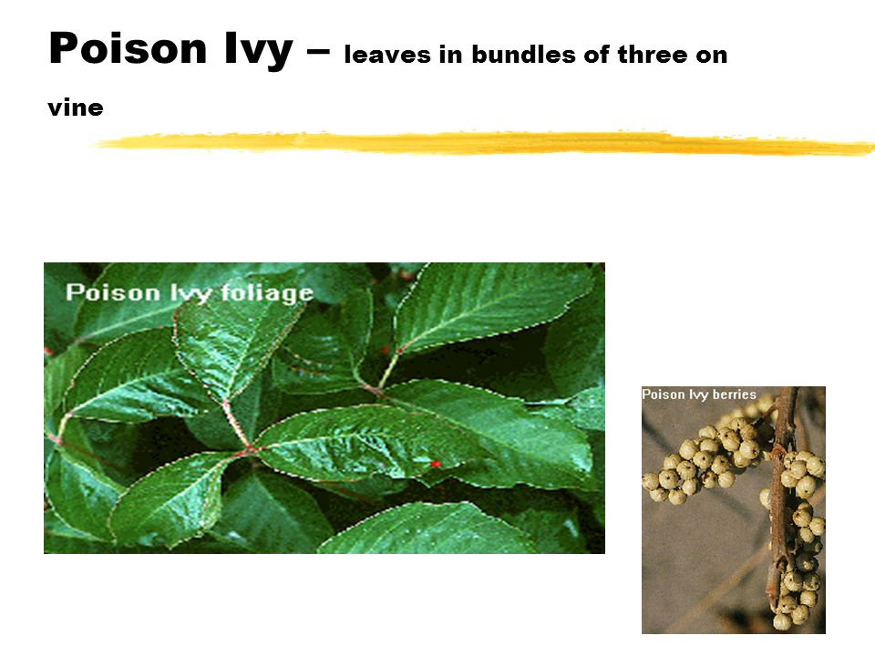 Poison Ivy – leaves in bundles of three on vine