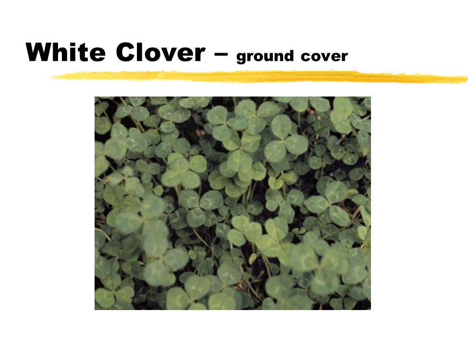 White Clover – ground cover