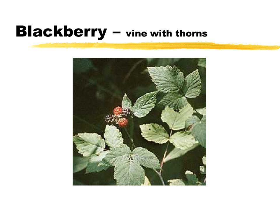 Blackberry – vine with thorns