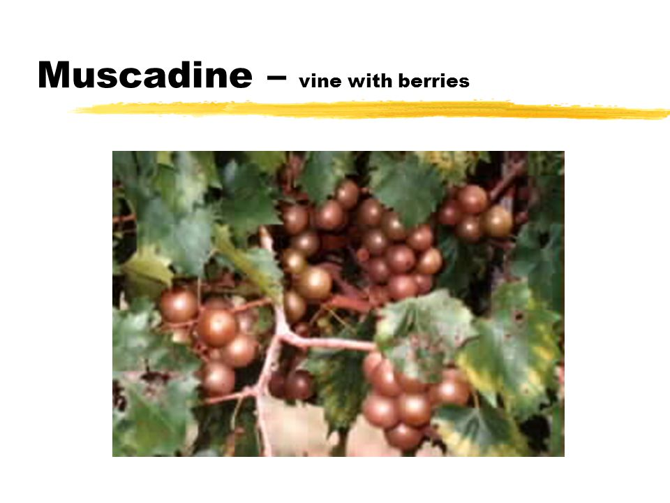 Muscadine – vine with berries