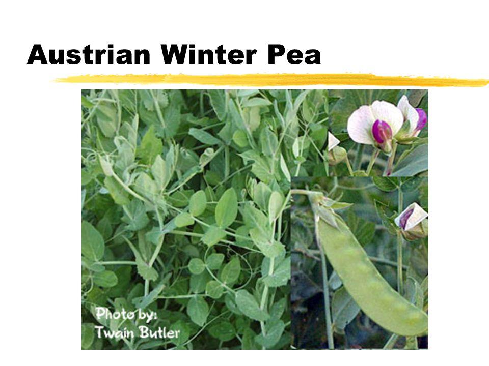 Austrian Winter Pea