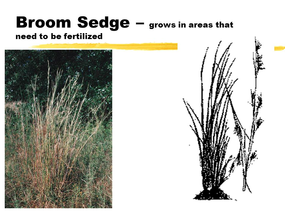 Broom Sedge – grows in areas that need to be fertilized