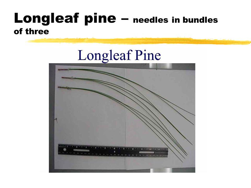 Longleaf pine – needles in bundles of three