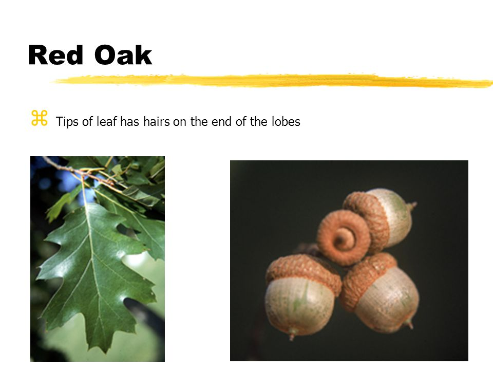 Poison Ivy – leaves in bundles of three on vine