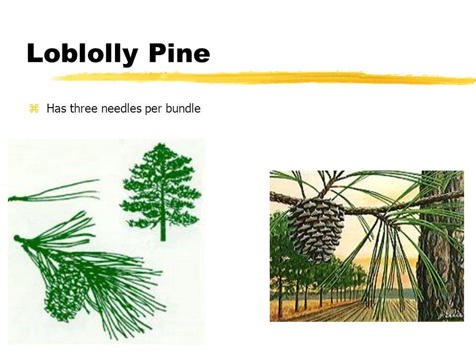 Loblolly Pine zHas three needles per bundle