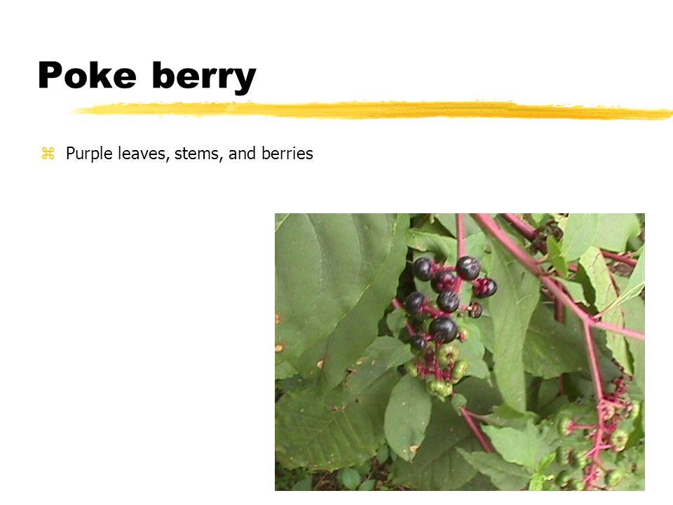 Blackberry – vine with thorns
