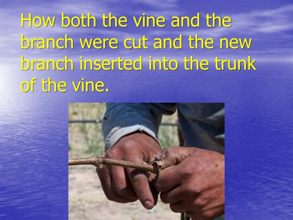 How both the vine and the branch were cut and the new branch inserted into the trunk of the vine.