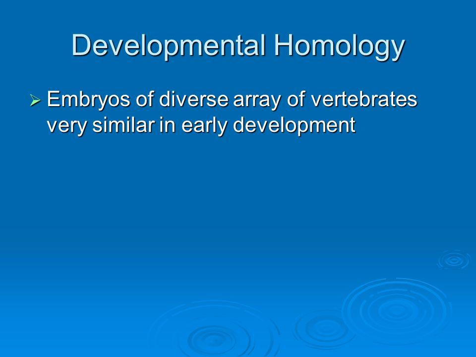 Developmental Homology  Embryos of diverse array of vertebrates very similar in early development