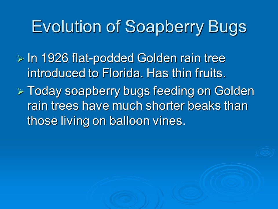 Evolution of Soapberry Bugs  In 1926 flat-podded Golden rain tree introduced to Florida.