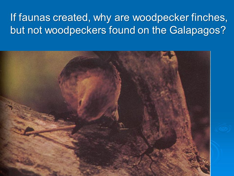 If faunas created, why are woodpecker finches, but not woodpeckers found on the Galapagos
