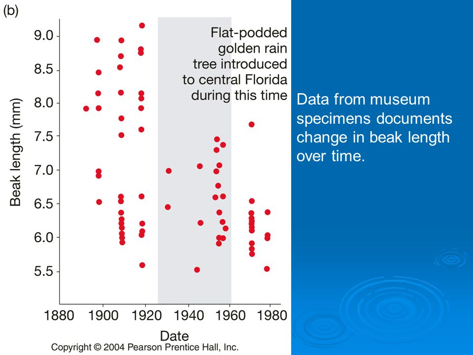 Data from museum specimens documents change in beak length over time.