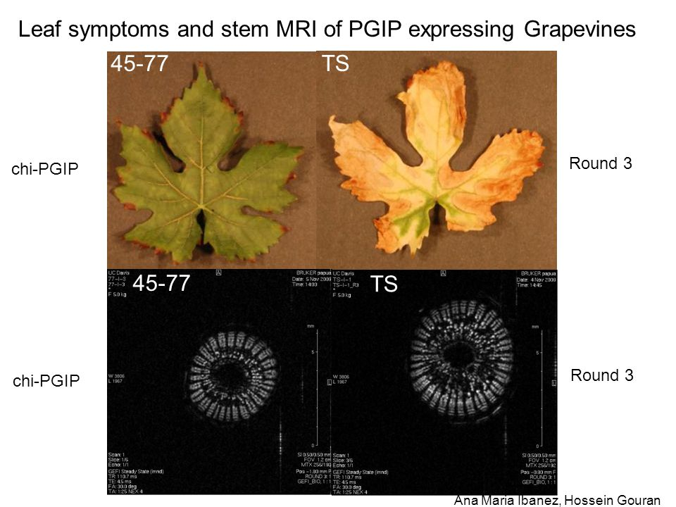 45-77TS Leaf symptoms and stem MRI of PGIP expressing Grapevines Round 3 chi-PGIP 45-77 TS Round 3 chi-PGIP Ana Maria Ibanez, Hossein Gouran