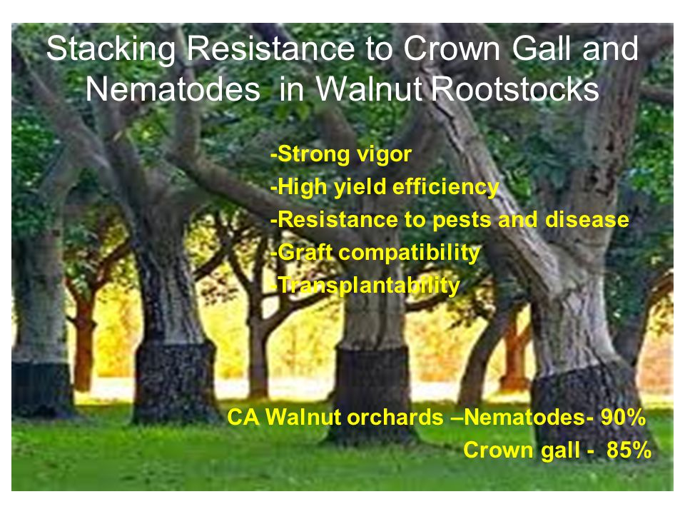 Stacking Resistance to Crown Gall and Nematodes in Walnut Rootstocks -Strong vigor -High yield efficiency -Resistance to pests and disease -Graft compatibility -Transplantability CA Walnut orchards –Nematodes- 90% Crown gall - 85%