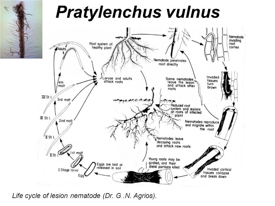 Life cycle of lesion nematode (Dr. G.N. Agrios). Pratylenchus vulnus