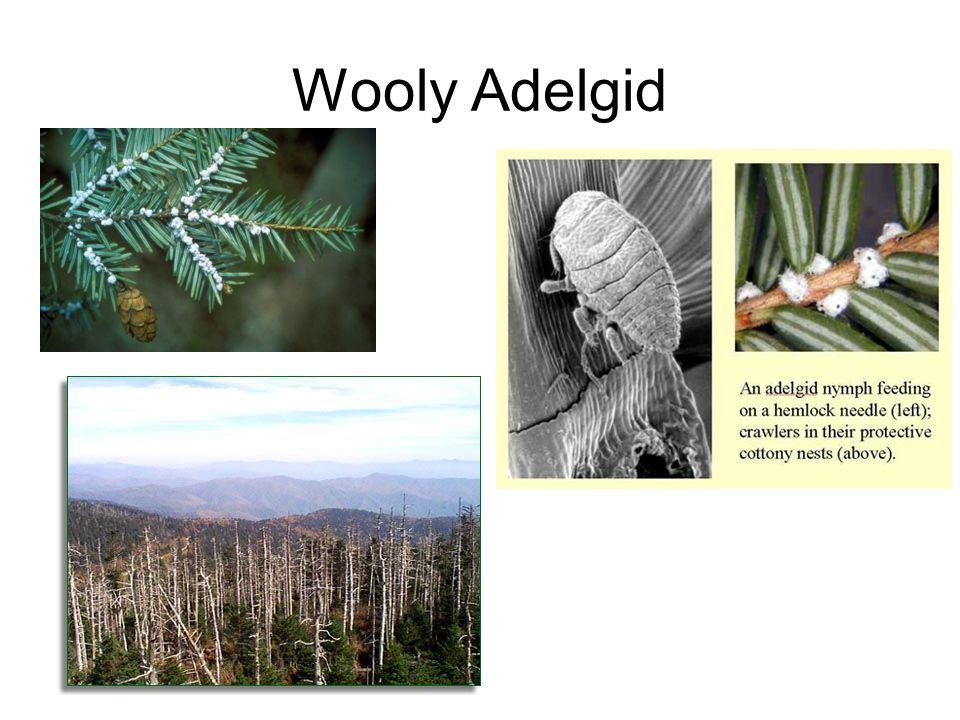 Wooly Adelgid