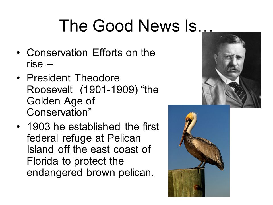 The Good News Is… Conservation Efforts on the rise – President Theodore Roosevelt (1901-1909) the Golden Age of Conservation 1903 he established the first federal refuge at Pelican Island off the east coast of Florida to protect the endangered brown pelican.