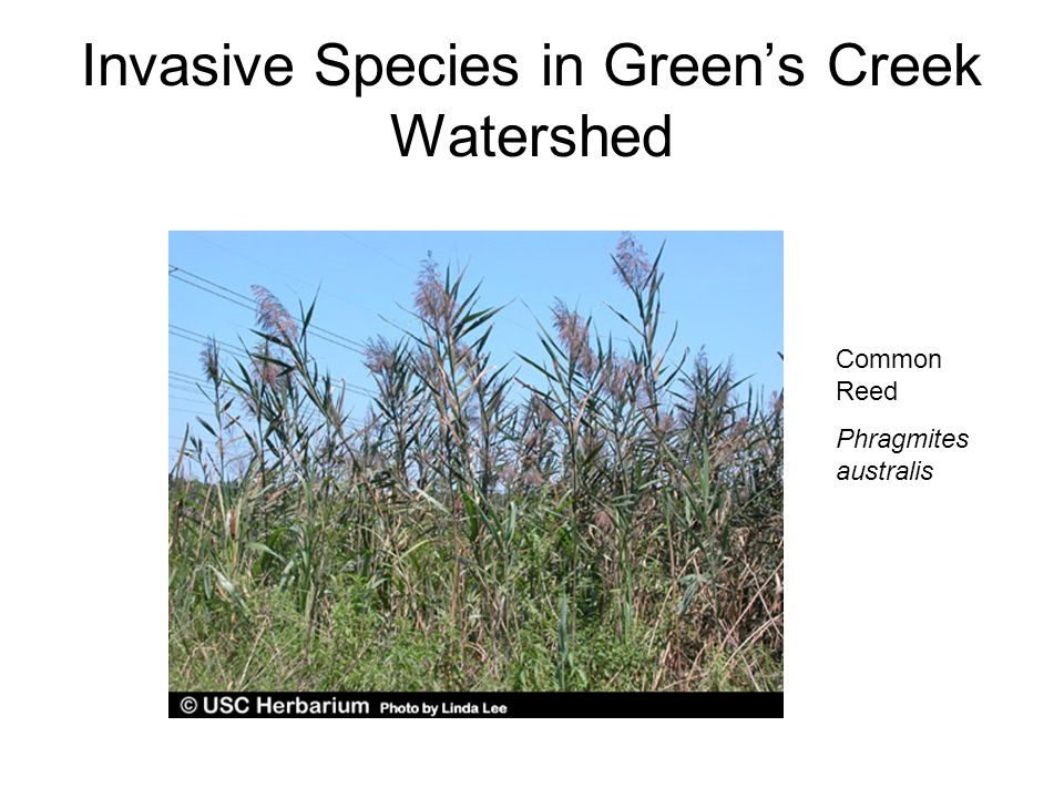 Invasive Species in Green's Creek Watershed Common Reed Phragmites australis