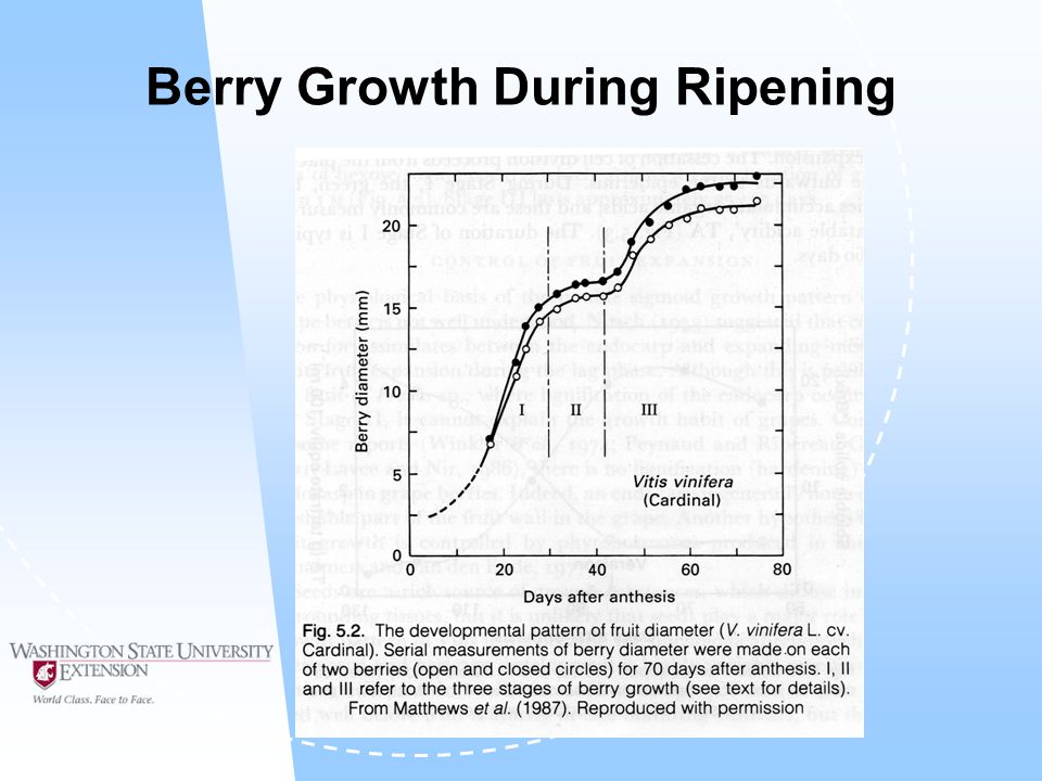 Berry Growth During Ripening
