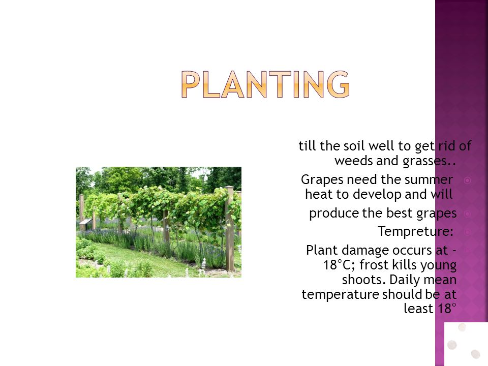 till the soil well to get rid of weeds and grasses..  Grapes need the summer heat to develop and will  produce the best grapes  Tempreture:  Plant