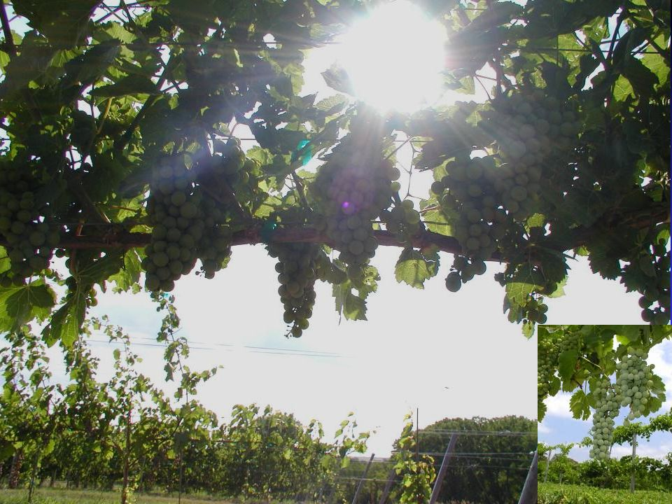 Rootstock Physiology: what do rootstocks do.Not so clear.
