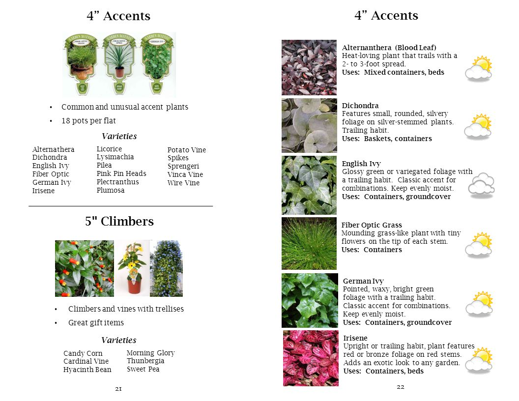 21 4 Accents Common and unusual accent plants 18 pots per flat Varieties Alternathera Dichondra English Ivy Fiber Optic German Ivy Irisene Licorice Lysimachia Pilea Pink Pin Heads Plectranthus Plumosa Potato Vine Spikes Sprengeri Vinca Vine Wire Vine 5 Climbers Climbers and vines with trellises Great gift items Varieties Candy Corn Cardinal Vine Hyacinth Bean Morning Glory Thunbergia Sweet Pea 22 4 Accents Alternanthera (Blood Leaf) Heat-loving plant that trails with a 2- to 3-foot spread.