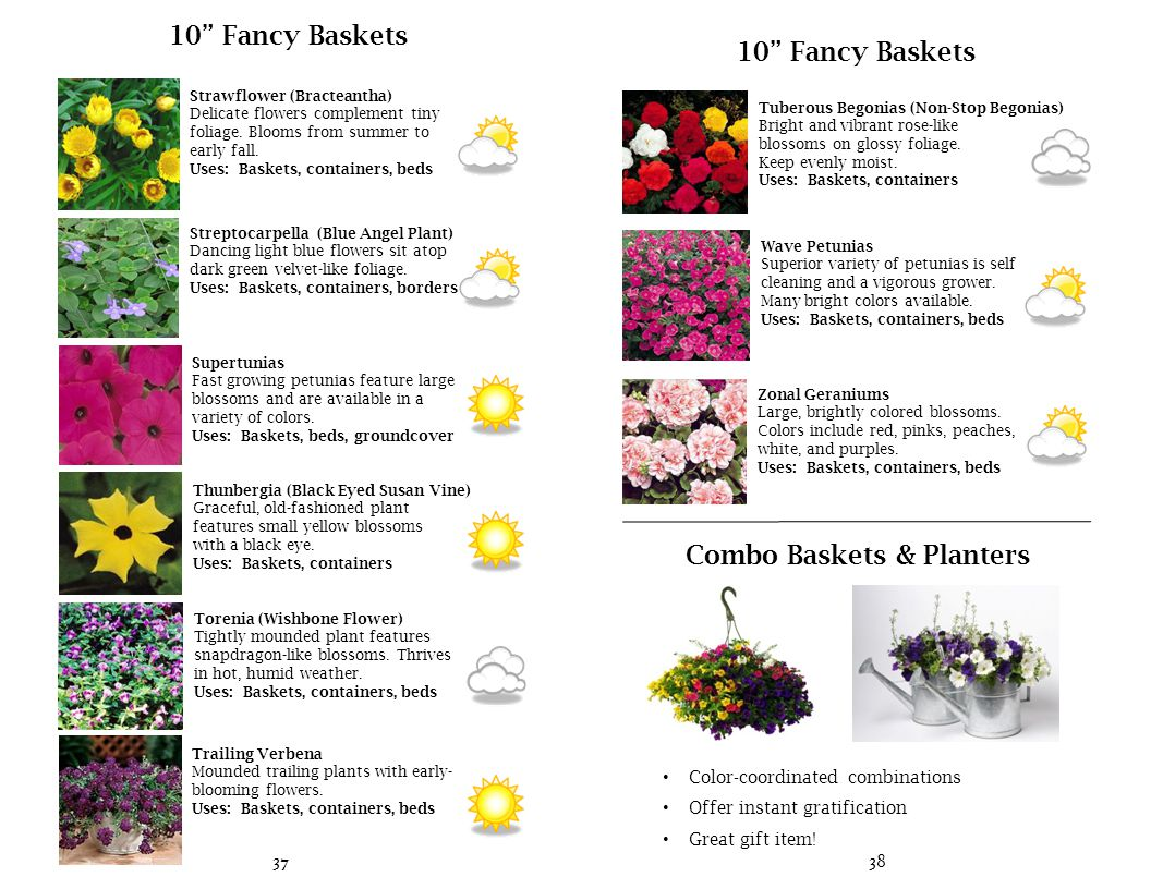 10 Fancy Baskets Zonal Geraniums Large, brightly colored blossoms.