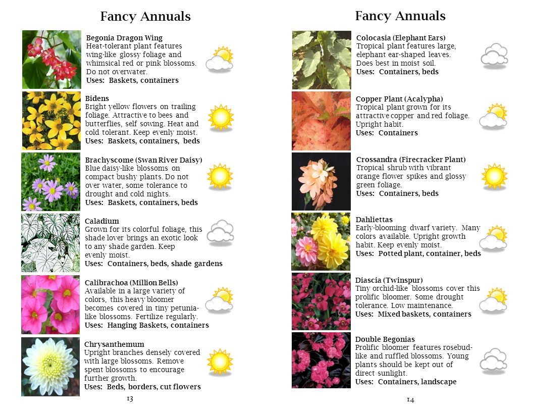 15 Fancy Annuals Fuchsia Exquisite blossoms dangle like ornaments from stems.
