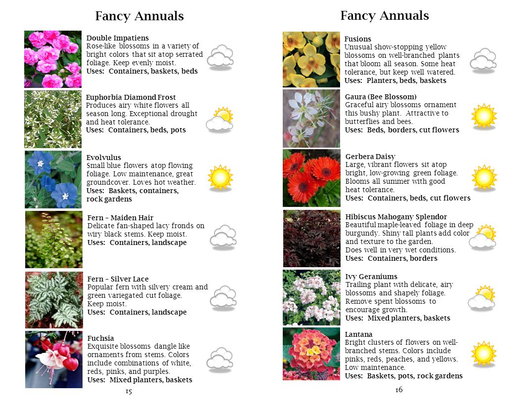 17 Fancy Annuals New Guinea Impatiens Large blossoms on shiny serrated foliage.