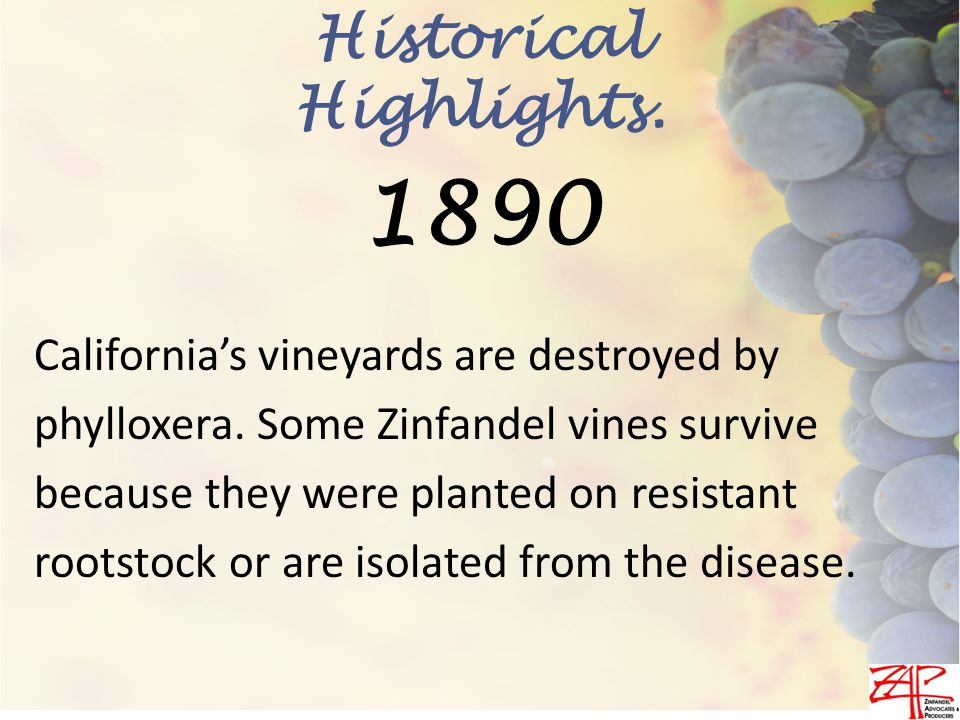 California's vineyards are destroyed by phylloxera.
