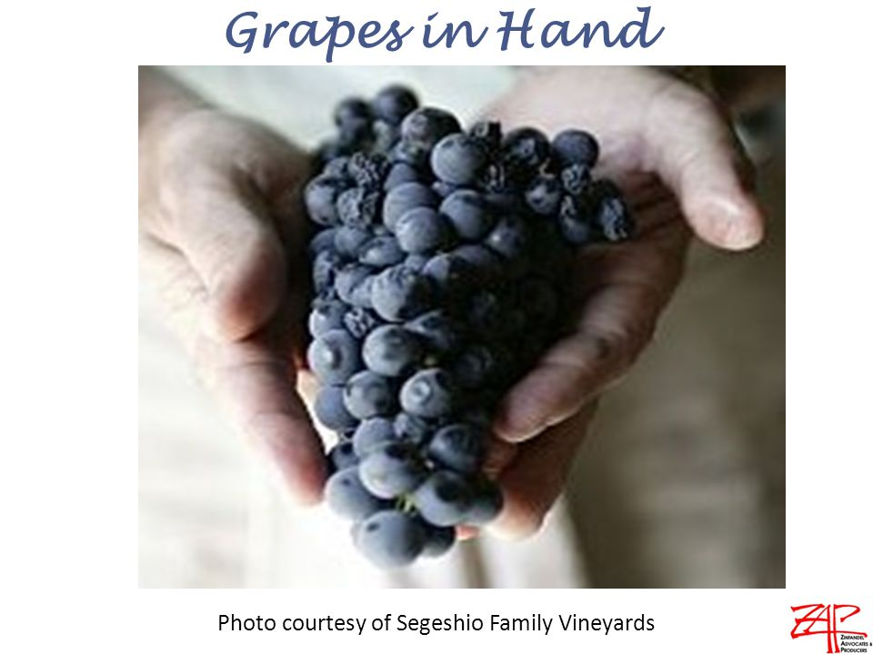 Grapes in Hand Photo courtesy of Segeshio Family Vineyards